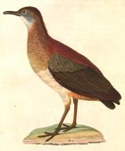 Crypturellus_undulatus_1838.jpg
