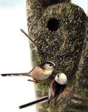 Desfayes Long-tailed Tit.jpg