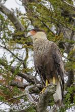 Southern_crested_caracara_(Caracara_plancus)_-_Torres_del_Paine_National_Park_05.jpg