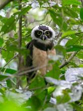 Spectacled_Owl_Pulsatrix.jpg
