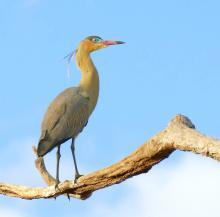 Whistling_Heron_(Syrigma_sibilatrix).jpg