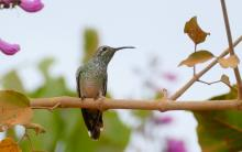 White-tailed_Goldenthroat_(Polytmus_guainumbi)_female.jpg