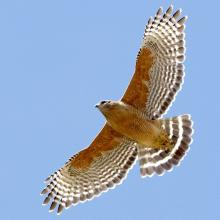 allaboutbirds red shouldered hawk.jpg